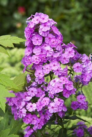 Beautiful fresh phlox plant in rural flowerbed