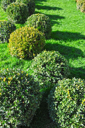 Clipped Buxus sempervirens plant in the park Stock Photo