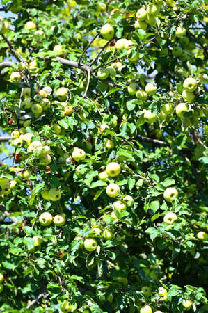 Green apple on the branch of tree Imagens