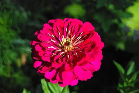 Beautiful fresh zinnia flower in rural flowerbed