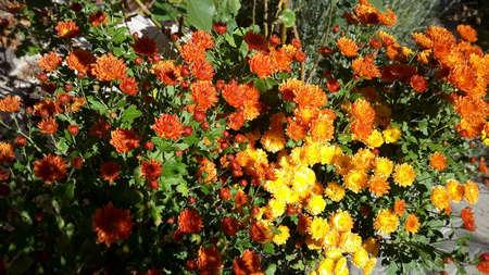 Beautiful bouquet from many autumnal fresh chrysanthemum Stock Photo