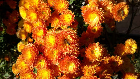 Beautiful bouquet from many autumnal fresh chrysanthemum