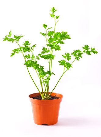 Parsley Plant in a pot isolated on white background photo