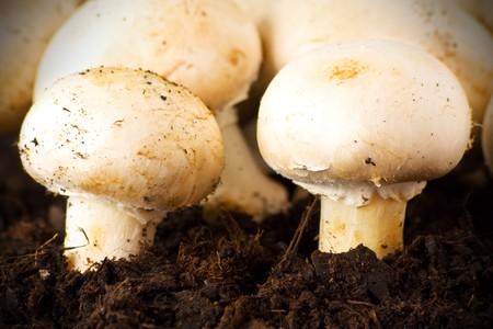Edible champignons on soil Stock Photo - 6992532