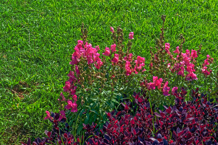 Pink Flowers And Purple Bush Like Plants On A Grass Background