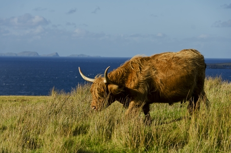 grazing highland cow in a field in front of the ocean photo