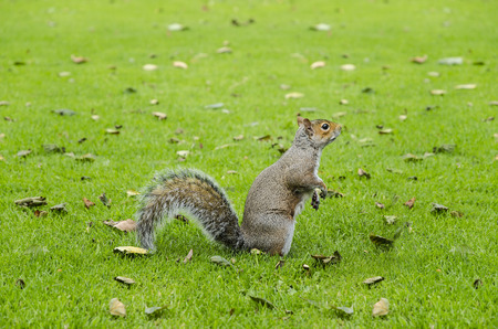 likable: eastern grey squirrel (Sciurus carolinensis) with lifted forepaws sitting on green lawn