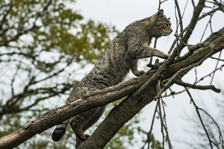 grey european wildcat, Felis silvestris silvestris, climbing up a tree
