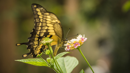 yellow King Swallowtail Butterfly, heraclides thoas, sitting on a flower Stock Photo