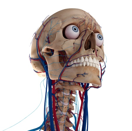 human anatomy: Human skull with eyes, arteries and veins Stock Photo