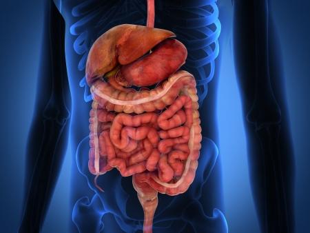 Rendu 3D intestinaux organes internes