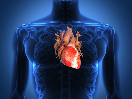 spine x ray: Human heart anatomy from a healthy body Stock Photo
