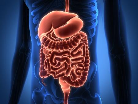 Rendering Intestinal internal organs