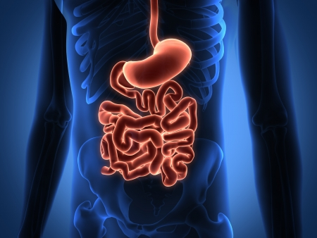 Rendering Intestinal internal organs photo