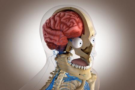 Anatomie humaine - structure du cerveau tête, etc yeux