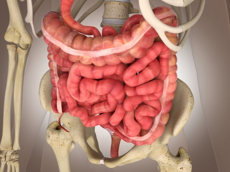 right ventricle: 3D Rendering Intestinal internal organ Stock Photo