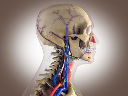 anatomy muscles: Human anatomy - structure of head brain, eyes etc