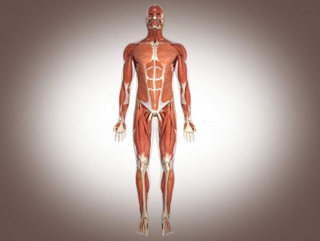 muscular system: muscle man