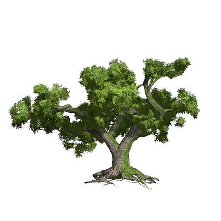 foglie di quercia: Quercia albero isolato, vettore, illustrazione