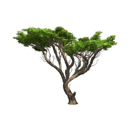 Acacia Vector illustration isol�