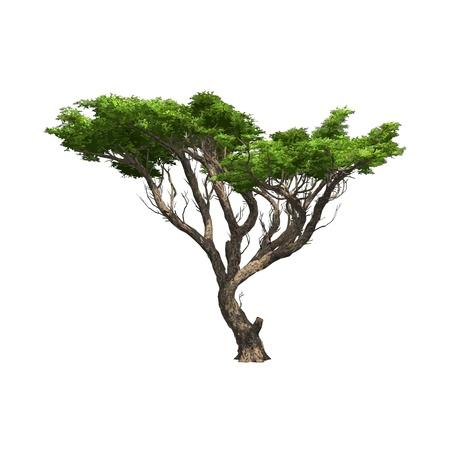 Acaciaboom geïsoleerde Vector illustratie Stock Illustratie