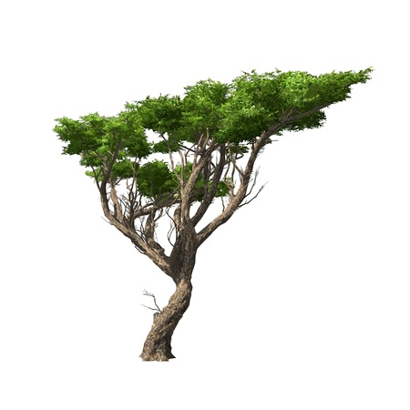 Acacia tree isolated  Vector illustration Vector