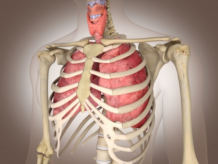 Man skeleton with internal organs  3 D digital rendering  photo