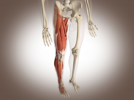 anatomy muscles: muscle man