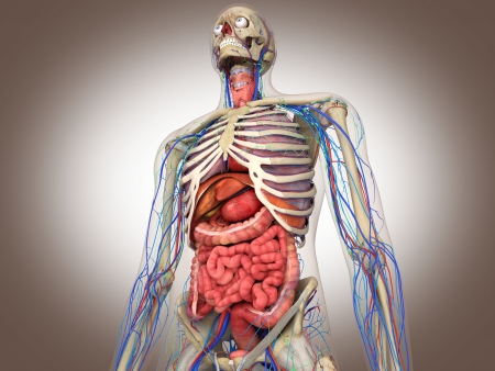 superior vena cava: 3D Rendering Intestinal internal organ Stock Photo