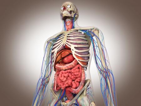 organos internos: Rendering 3D ?no interno Intestinal Foto de archivo