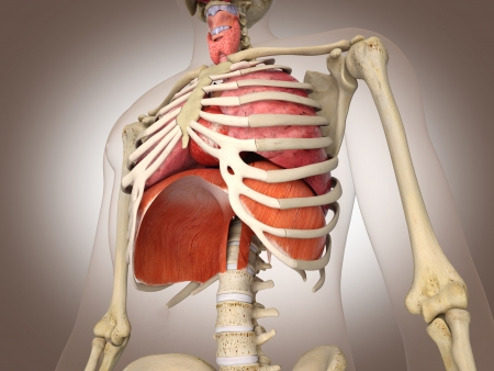 Man skeleton with internal organs  3 D digital rendering