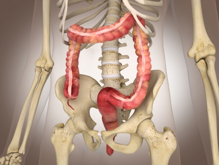 3D Rendering Intestinal internal organ Stock Photo - 19676168