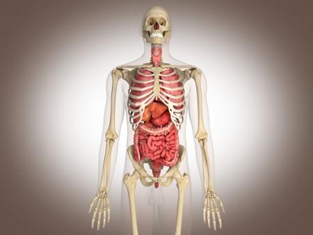 Rendu 3D organe interne intestinale