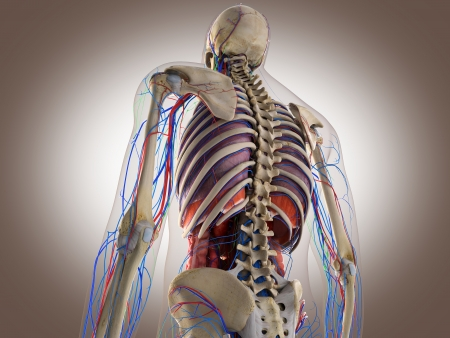 3D Rendering Intestinal internal organ Stock Photo - 19676177