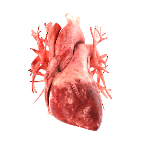 heart organ: Its part of a big set of organ illustrations include pain, desease etc. See more in my portfolio.