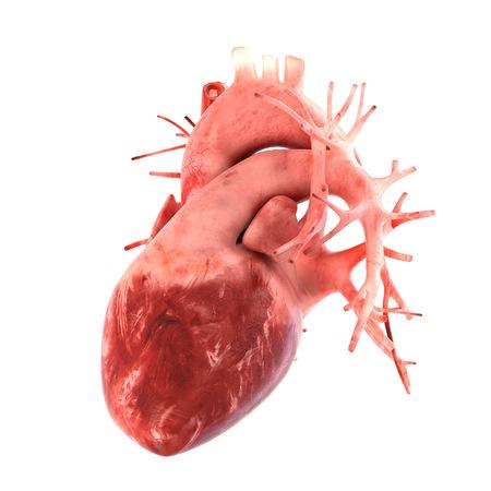 anatomie humaine: Cela fait partie d'un grand ensemble d'illustrations d'organes comprennent la douleur, desease etc. Voir plus dans mon portefeuille. Banque d'images