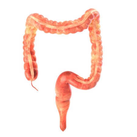 small bowel: Its part of a big set of organ illustrations include pain, desease etc. See more in my portfolio.