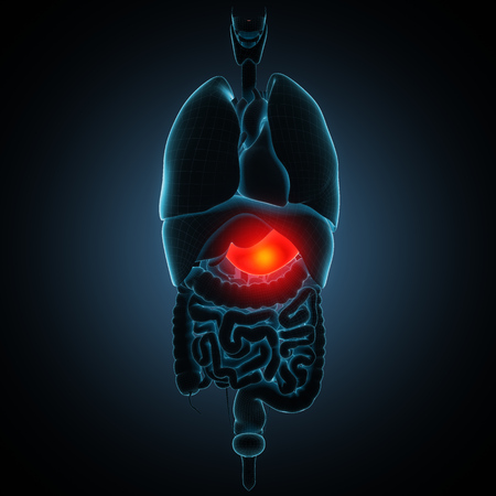 gastroenteritis: Anatomically right model of human internal organs Stock Photo