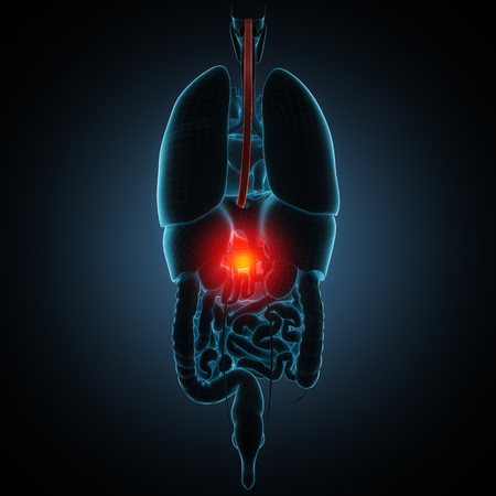 esophagus: Anatomically right model of human internal organs Stock Photo