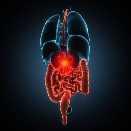 gastroenterology: Anatomically right model of human internal organs Stock Photo