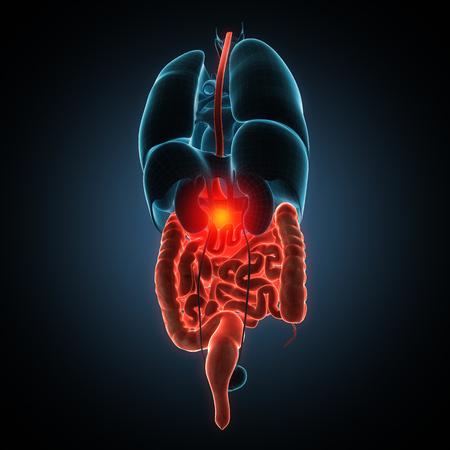 Anatomically right model of human internal organs Standard-Bild