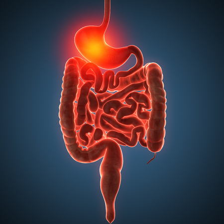 anatomically: Anatomically right model of human internal organs Stock Photo