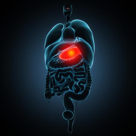 Anatomisch juiste model van het menselijk interne organen Stockfoto