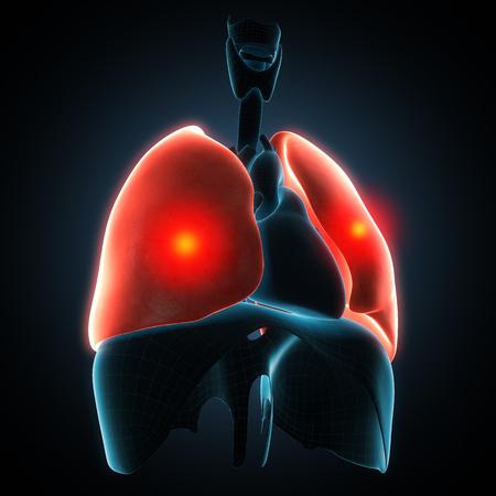 pleura: Anatomically right model of human internal organs Stock Photo