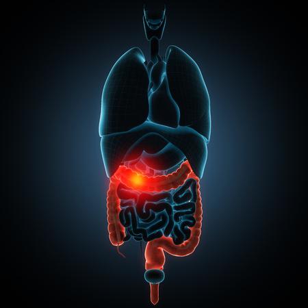 anatomisch nauwkeurige 3D render illustratie