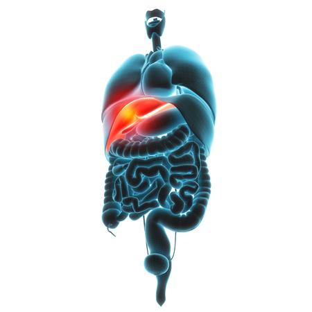 glucagon: liver organ pain 3d illustration