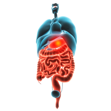 appendix: stomach organ pain 3d  illustration