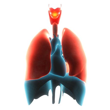 bronchiolar: lungs organ pain  3d illustration Stock Photo