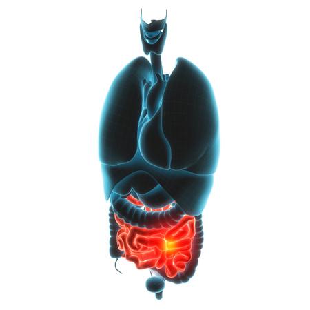 pylorus: guts organ pain 3d illustration