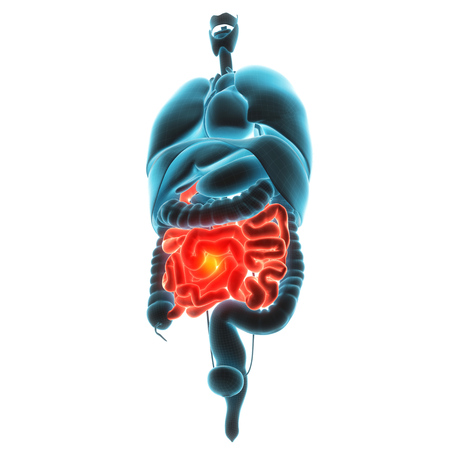 fundus of stomach: guts organ pain 3d illustration